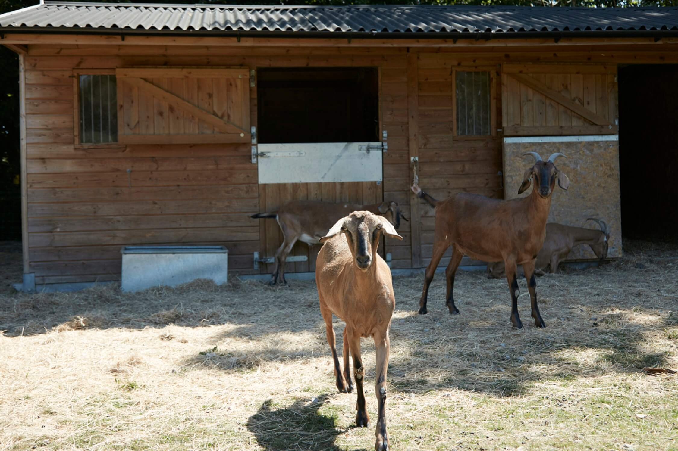 Bucks Green - Shepherd's Hut - resident goats