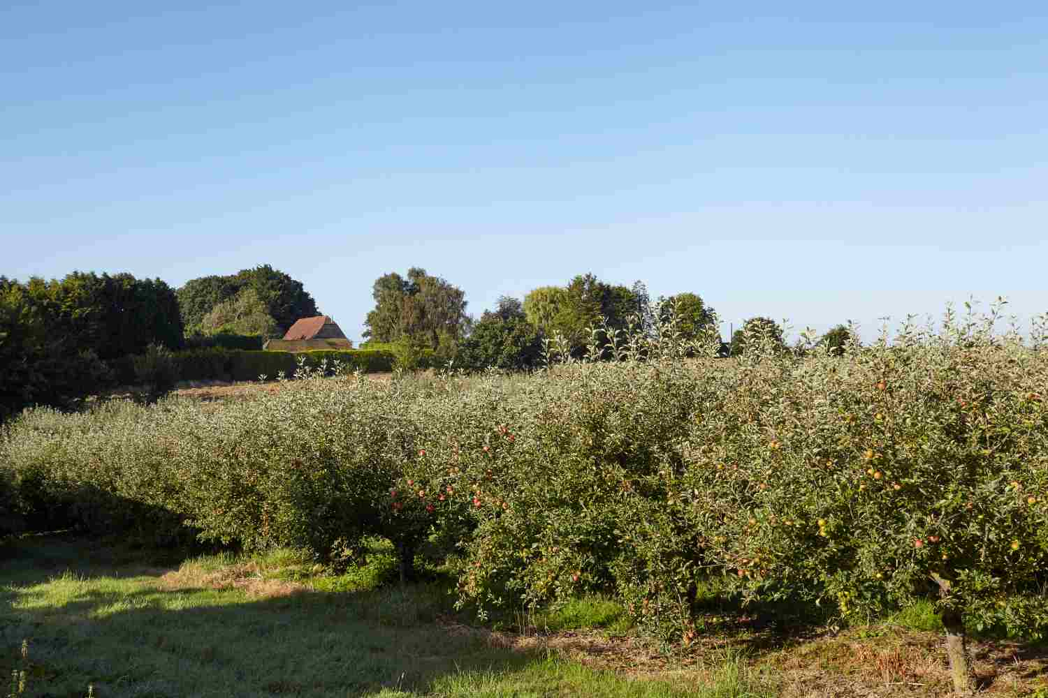 View of apple orchard