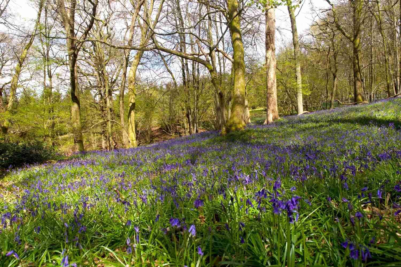 Bluebell wood