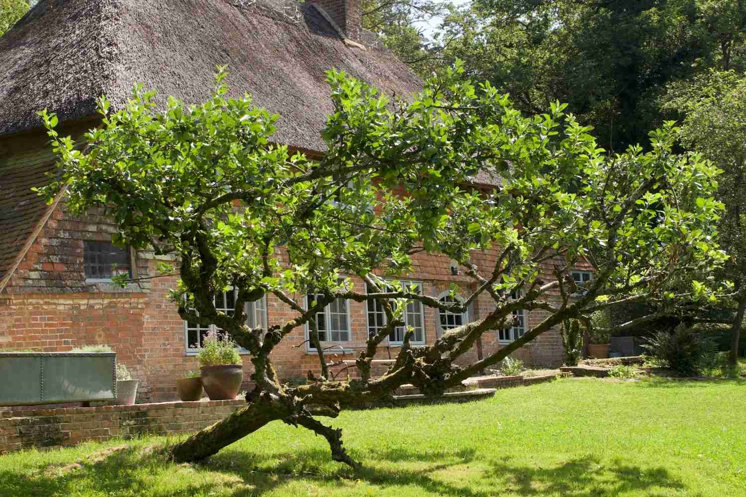 A crooked apple tree in the garden
